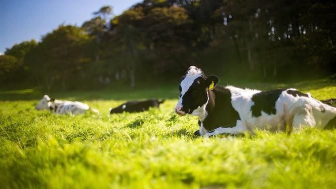 dairy_cow_milk_SDGs_unsplash